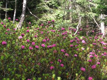Floraison - Rhododendron ne fleurit pas ...